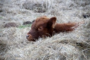 Brown calf sitting in hay