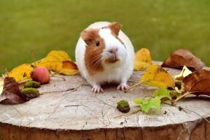 Guinea pig on log