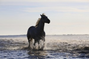 Horse running through surf