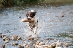 Spaniel running through water. Animal feed and bedding.