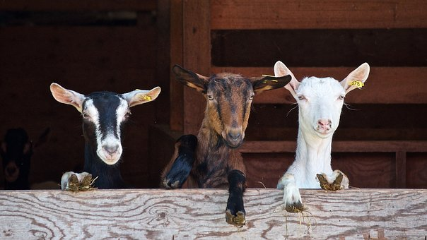 Goats go to The Melplash Show
