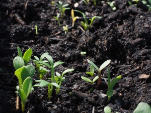 Seedlings in earth