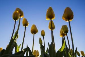 Tulips in bud