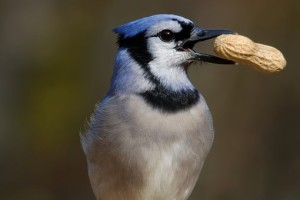 blue jay with peanut in beak