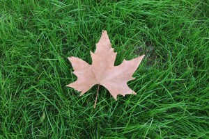 maple leaf in autumn on grass