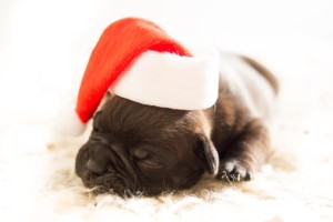 Puppy asleep wearing Santa hat