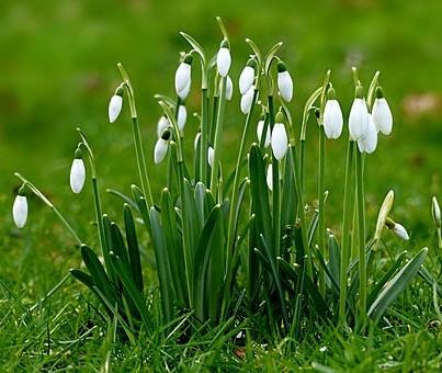 Snowdrops in a field