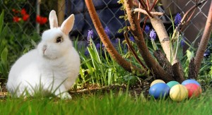 White rabbit outdoors with painted eggs