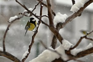 Blue Tit bird in snow covered tree