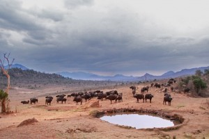 bison at watering hole