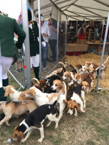 Beagle pups about to go into show ring