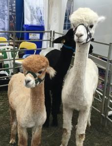 Llamas at a country show