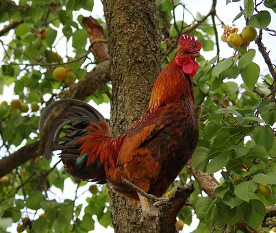 Cockerel in a tree