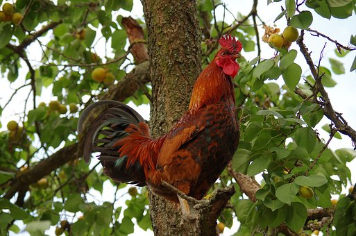 Cockerel in a tree