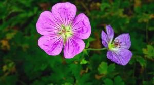 Herbaceous geranium