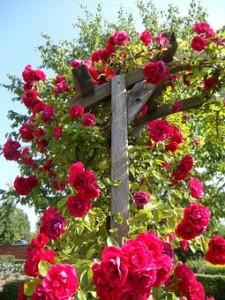 Red climbing rose