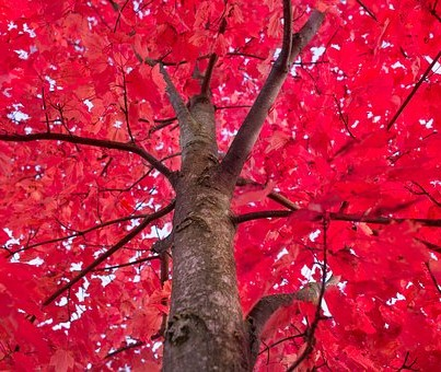 Autumn red tree