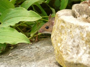 mouse peeping out from rock