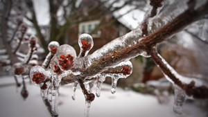 Berry tree encased in ice