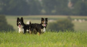 border collie dogs in field