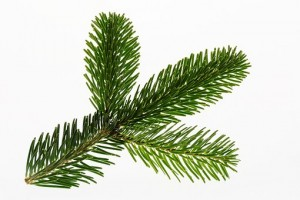 Nordmann fir tree branch