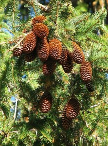 Norway spruce tree and cones