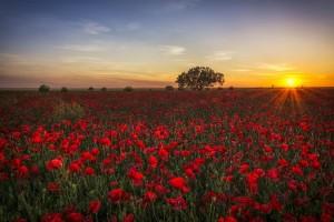 poppies-1086135__340
