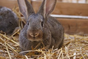 Rabbit sitting on hay