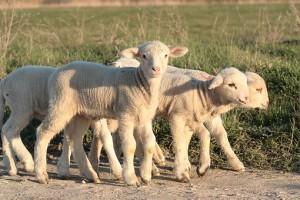 lambs on path