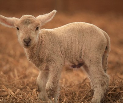 lamb standing in straw