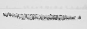 Herd of sheep in snow