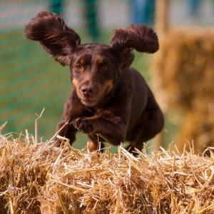 Spaniel dog jumping hay bale