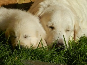Golden retriever puppy with mum