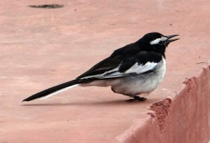 pied wagtail on pink step