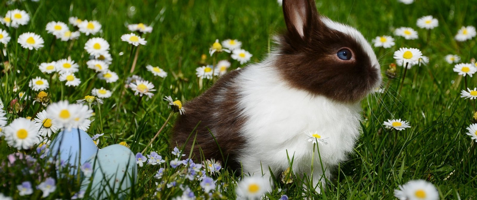 rabbit in field of daisies
