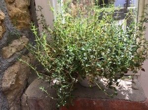 Thyme herbs growing in a cup on a windowsill