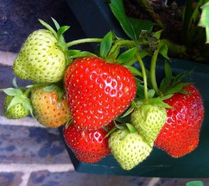 strawberries growing on the plant