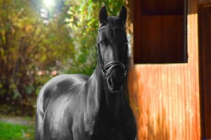 Black horse outside stable