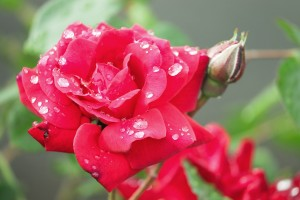 red rose with water droplets on petals