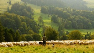 Sheep with shepherd and sheep dog in field