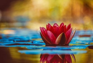 red water lily on water