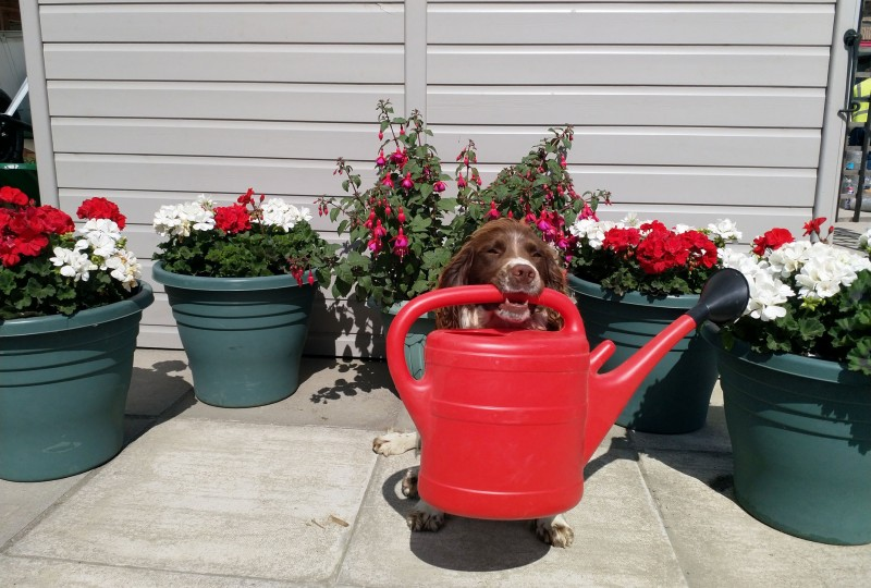 dog holding watering can in mouth