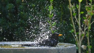 blackbird in birdbath
