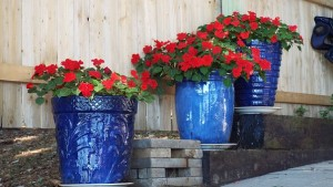 Red geraniums in blue pots