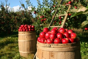 Apple barrels