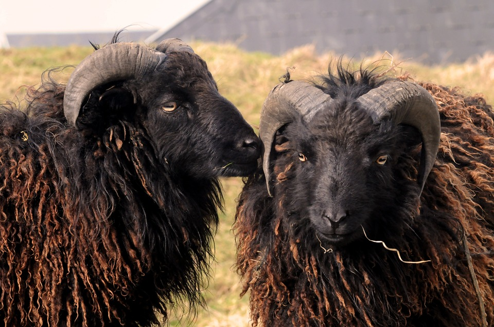 Black Ouessant sheep