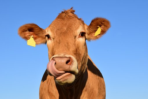 Jersey cow licking lips