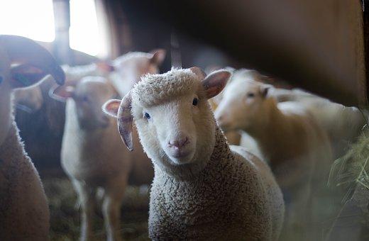 lamb looking cute