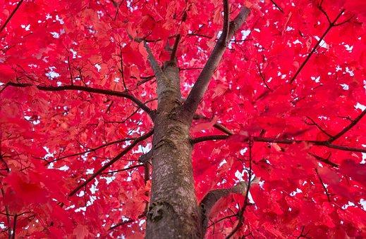 Autumn red tree