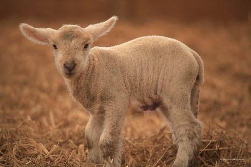 lamb standing in straw